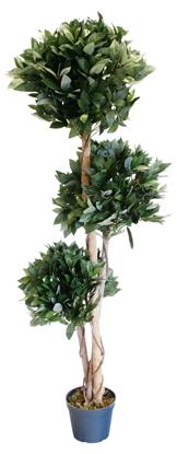 Picture of Laurel Tree